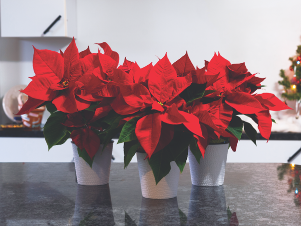 FMS Red Poinsettas 3