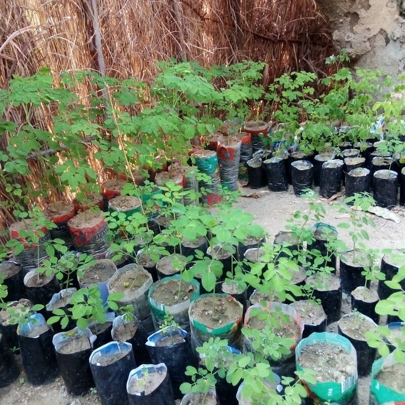 Close up of beautifully growing moringa seedlings in one of the village nurseries.