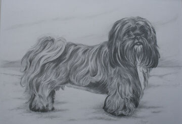 Black and white  drawing of a Lhasa Apsa dog by Jane Indigo