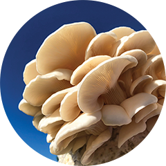 White oyster mushroom or Pleurotus ostreatus