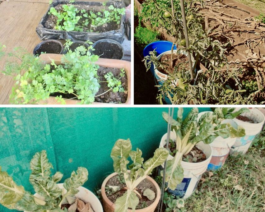 Upper left: parsley and cilantro in flats. Upper right: Tomatoes in plastic five gallon pails. Bottom: kale in plastic fives.