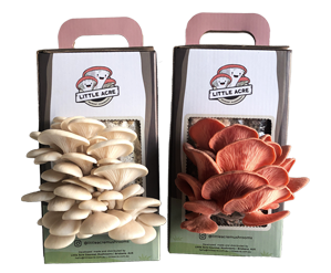 White and Pink Oyster mushrooms growing out of a mushroom grow kit