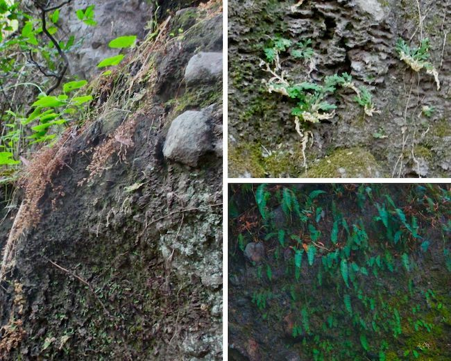 Three photos, one with the ferns dry and brownish, the other two green.