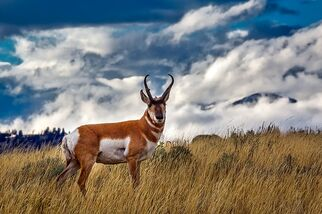 Pronghorn antelope of Yellowstone National Park