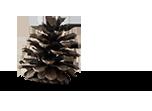 pinecone image
