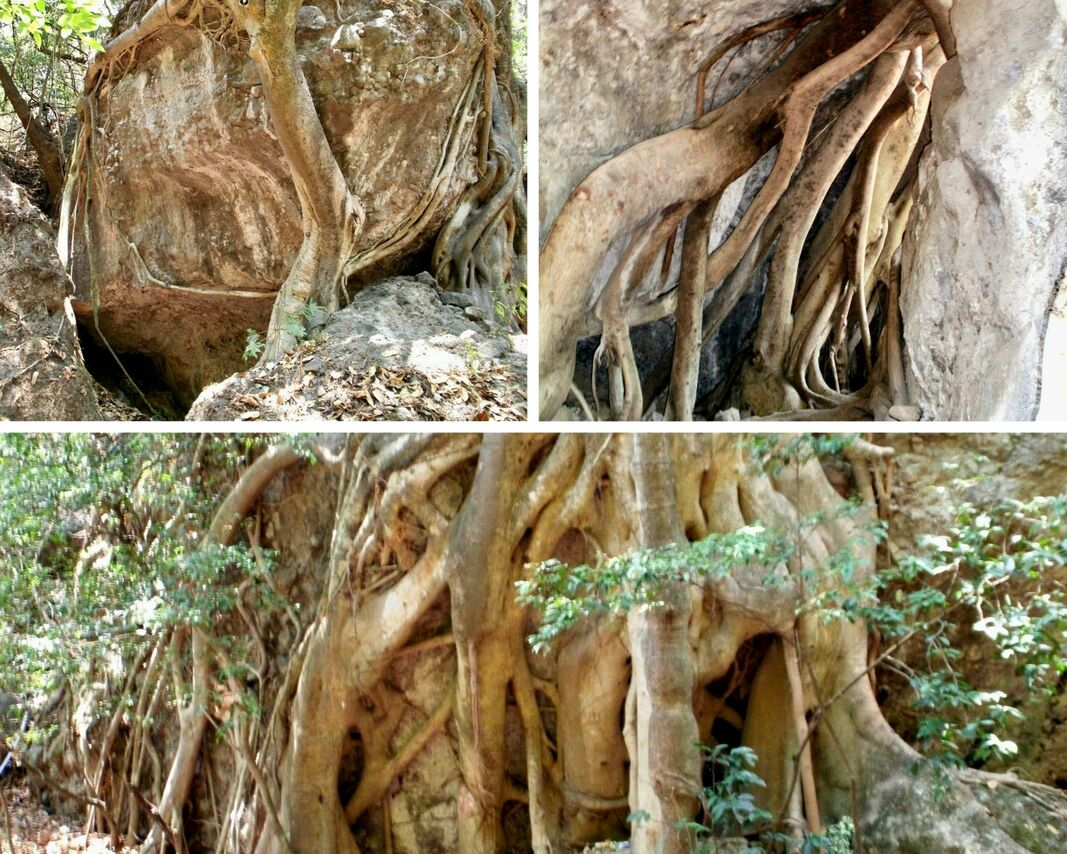 Three photos showing enormous tree roots, yellowish-white, wrapping around big boulders and penetrating them.