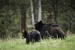 Black Bears can be seen in Yellowstone National Park