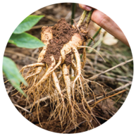 Korean Ginseng root.
