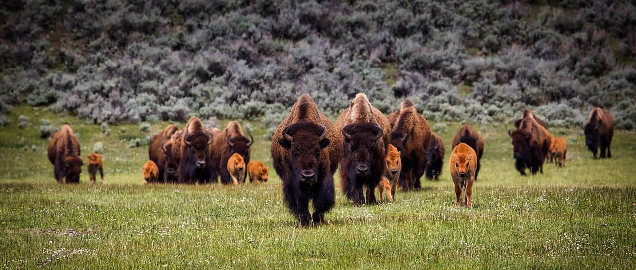 Yellowstone National Park Wildlife guided hiking tour