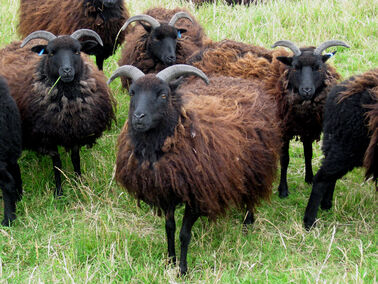 Black Sheep of Black Sheep Adventures