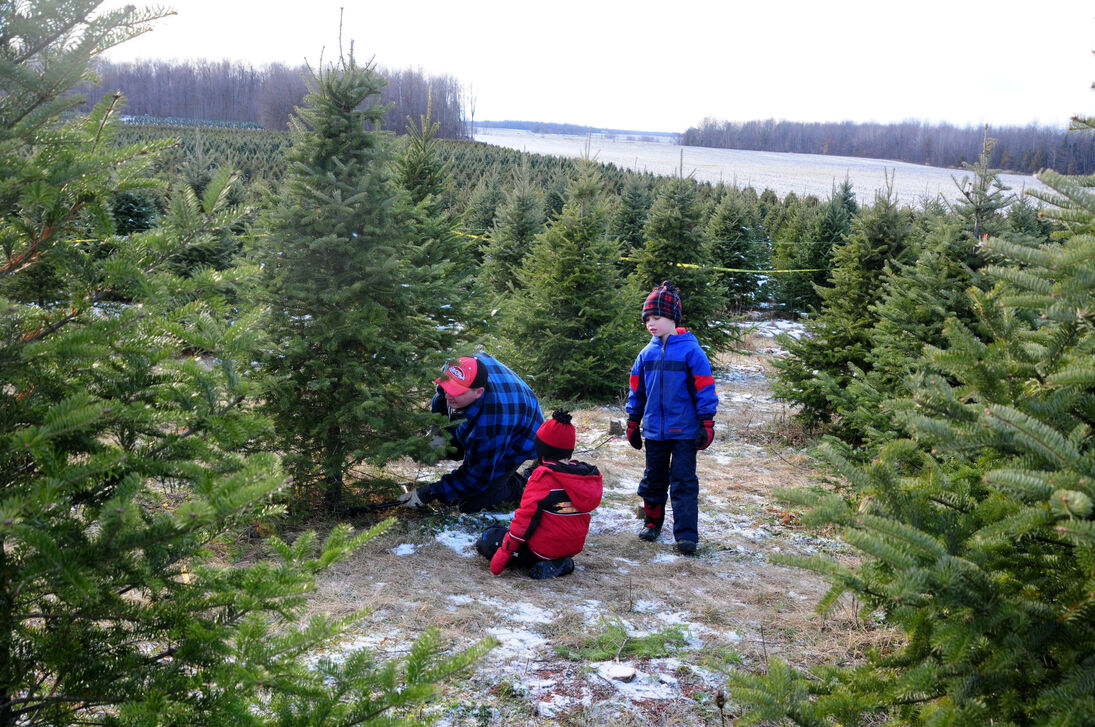 Picking your favourite tree at Thomas Tree Farm: Photo of father with two kids sawing base of tree