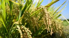 Image of rye rice used in making rye whisky