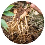 Korean Ginseng Root. Ginseng can improve memory and sleep quality.