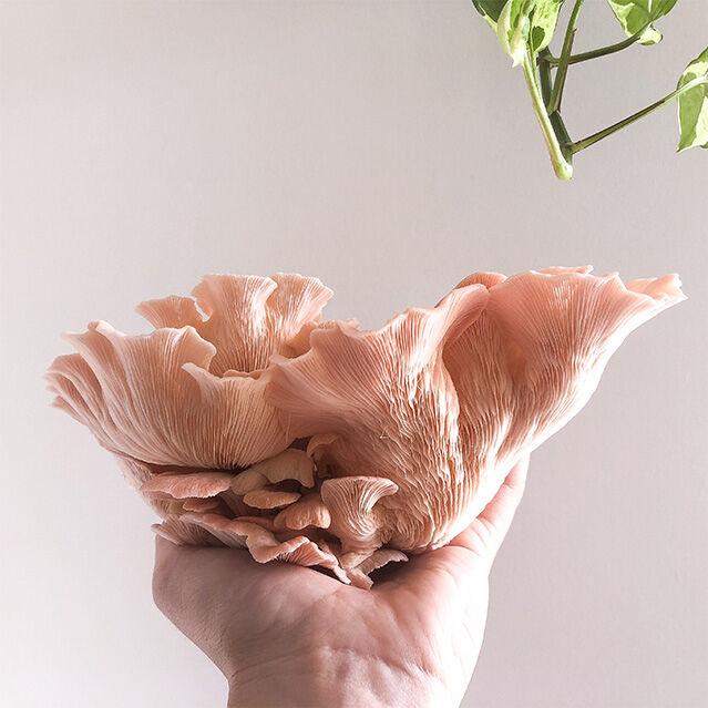 A beautiful Pink Oyster mushroom