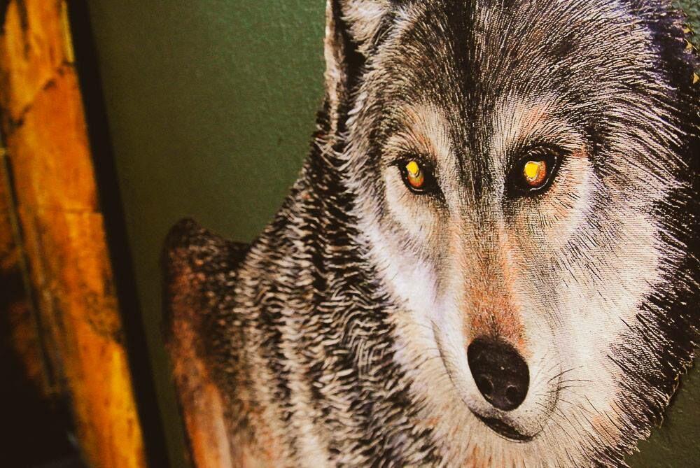 wolf11