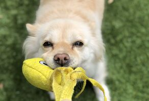 Happy Puppy L.A. recommends Tuffy Squid Dog Toys which you can purchase from the Happy Puppy L.A. Amazon Store!
