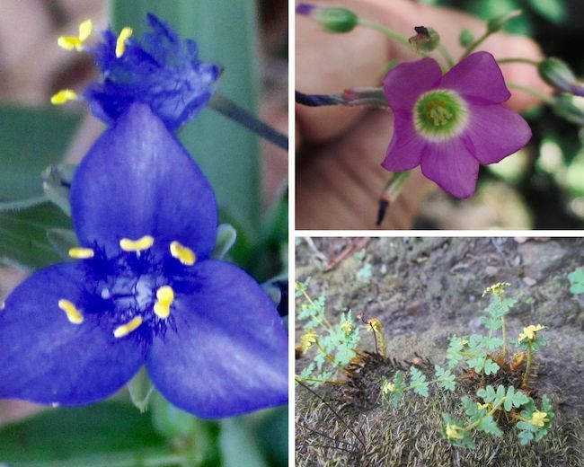 1. blue flower of three petals and five yellow stamens inside 2. violet flower with five petals surrounding a delicate greenish colored inside 3. A group of small yellow flowers