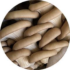 Gold oyster mushroom or Pleurotus citrinopileatus