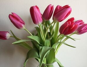 Picture of spring pink tulips in a vase