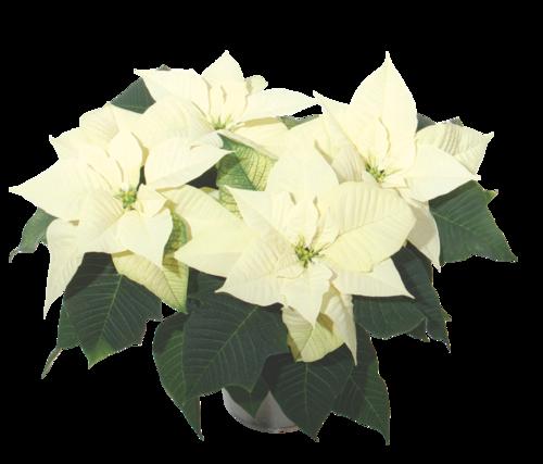 Snowy White Poinsettia  POI17 23358