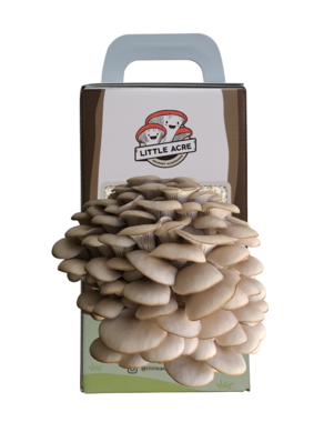 A pearl oyster mushroom kit that has finished a grow cycle