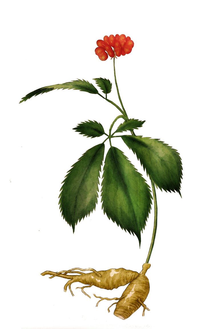 A coloured drawing of a Panax Ginseng flower, leaves and root. Ginseng can improve memory and sleep quality.